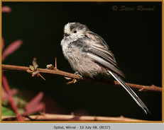 long-tailed-tit-37.jpg