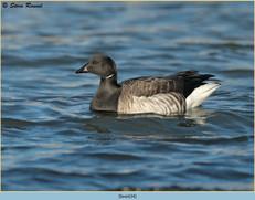 brent-goose-34.jpg