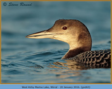 great-northern-diver-63.jpg