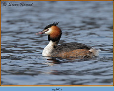 great-crested-grebe-42.jpg