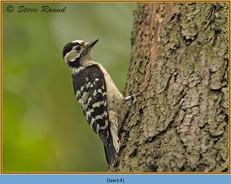 lesser-spotted-woodpecker-14.jpg