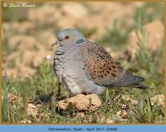 turtle-dove-08.jpg