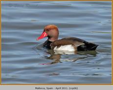 red-crested-pochard-06.jpg
