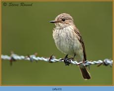 spotted-flycatcher-23.jpg