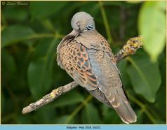 turtle-dove-23.jpg