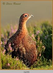red-grouse-144.jpg