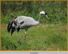 common-crane-04c.jpg