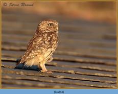 little-owl-54.jpg