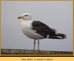 gt-b-backed-gull-14.jpg