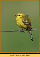 yellow-wagtail-13.jpg