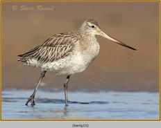 bar-tailed-godwit-15.jpg