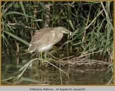 squacco-heron-05.jpg