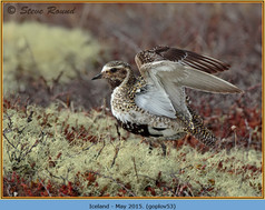 golden-plover-53.jpg