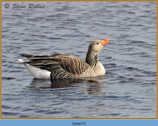greylag-goose-23.jpg