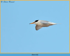 little-tern-18.jpg