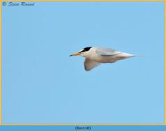 little-tern-18.jpg