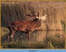 red-deer-57.jpg