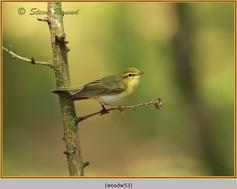 wood-warbler-53.jpg
