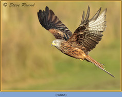 red-kite-65.jpg