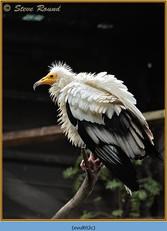 egyptian-vulture-02c.jpg