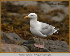 herring-gull-20.jpg