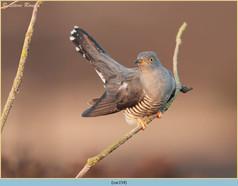 cuckoo-154.jpg
