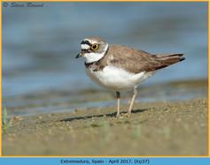 little-ringed-plover-37.jpg