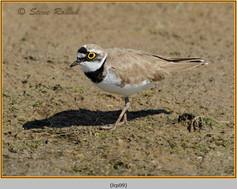 little-ringed-plover-09.jpg