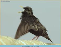 spotless-starling-22.jpg