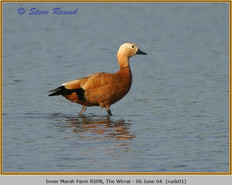 ruddy-shelduck-01.jpg