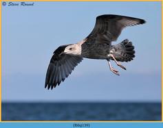 lesser-black-backed-gull-139.jpg