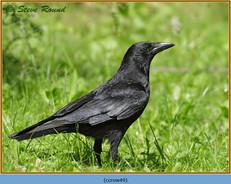 carrion-crow-49.jpg