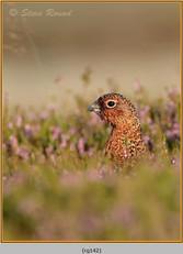 red-grouse-142.jpg