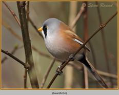 bearded-tit-04c.jpg
