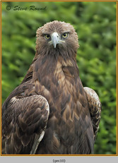 golden-eagle(c)-10.jpg
