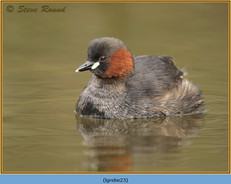 little-grebe-23.jpg