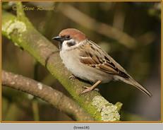 tree-sparrow-18.jpg