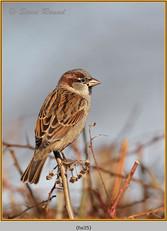 house-sparrow-35.jpg