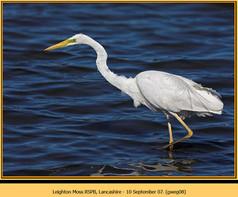 great-white-egret-08.jpg