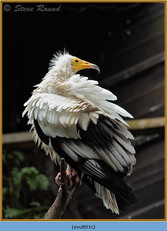 egyptian-vulture-01c.jpg