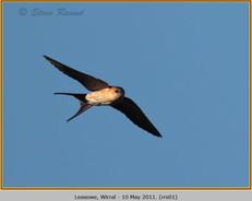 red-rumped-swallow-01.jpg