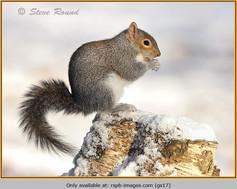 grey-squirrel-17.jpg