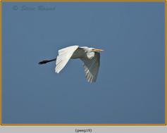 great-white-egret-19.jpg