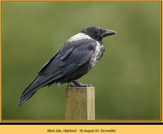 hooded-crow-06.jpg
