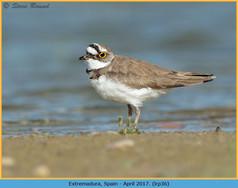 little-ringed-plover-36.jpg