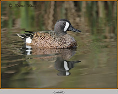 blue-winged-teal-02c.jpg