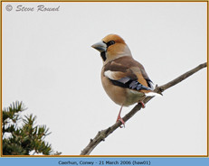 hawfinch-01.jpg