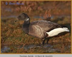 brent-goose-09.jpg