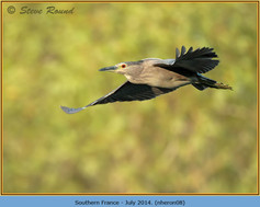 night-heron-08.jpg