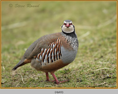 red-legged-partridge-03.jpg